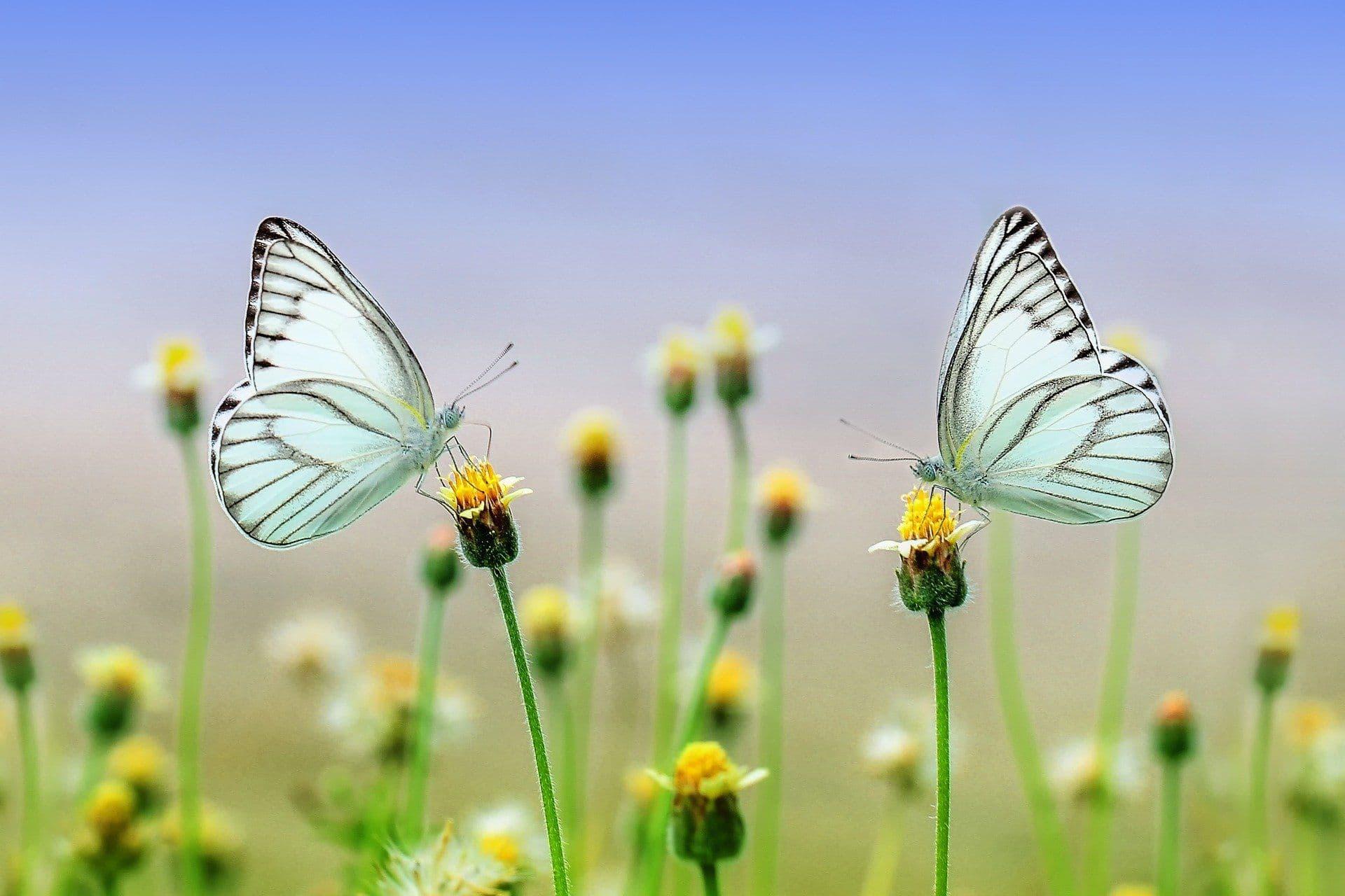 Schmetterlinge auf einer Blüte